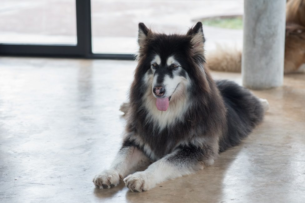 An Alaskan Malamute dog, sitting on an office floor and looking for people