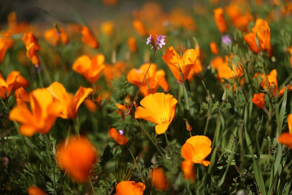 A super bloom of poppies is seen in Lake Elsinore, California