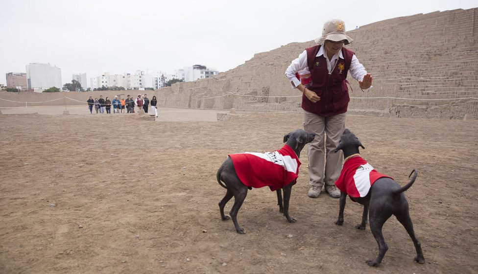 A park worker trains Peruvian hairless dogs Sumac and Munay in Lima, Peru's Huaca Pucllana ancient pyramid on July 20, 2019.