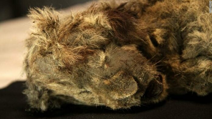 Carcass of a lion cub 28000 years